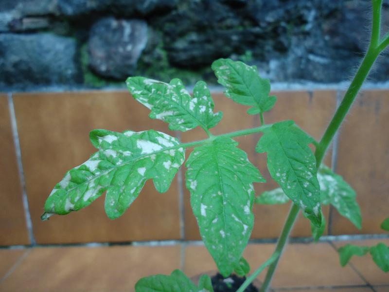 tomateras – AgroEcologia